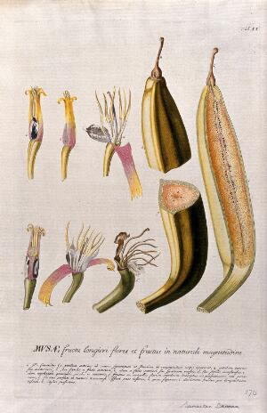 view Plantain banana (Musa x paradisiaca L.): nine sections of flower and fruit. Coloured engraving by J.J. or J.E. Haid, c.1750, after G.D. Ehret.