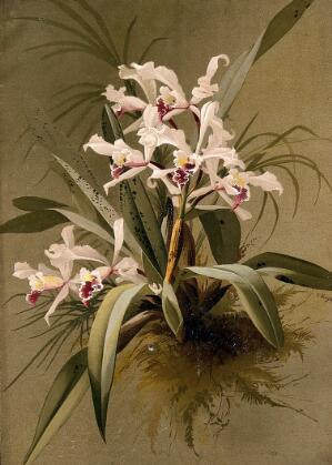 view A species of orchid: flowering plant with traces of surrounding vegetation. Chromolithograph by E.Vouga, c.1883, after herself.