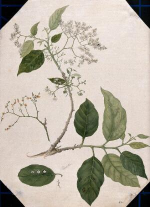 view A species of Ehretia: large flowering stem with separate leaf, fruit and flowers. Watercolour, 17--.