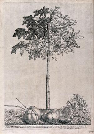 view Papaya, pawpaw or melon tree (Carica papaya L.): flowering and fruiting tree with flowers and fruit lying on the ground beneath. Etching by G. D. Ehret, 1742, after himself.