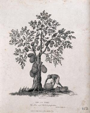 view Jak or jack tree (Artocarpus heterophyllus Lam.) with man collecting the fallen fruit. Engraving by J. Storer after J. Forbes, 1767.