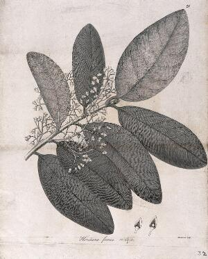 view Heritiera fomes: flowering stem with floral segments. Line engraving by Mackenzie, c.1795.