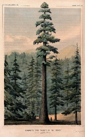 view Wellingtonia or mammoth tree (Sequoiadendron giganteum (Lindley) Bucholz) towering above surrounding forest and person at its base. Coloured lithograph after W. P. Blake, c.1857.
