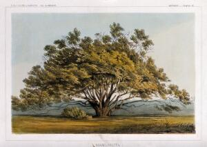 view Manzanita tree (Arctostaphylos pungens Kunth) in open landscape. Coloured lithograph, c.1857.