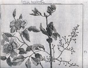 view Terpentine tree bough (Pistacia terebinthus L.) and goel nasranie flowers. Line engraving by M. Pool after C. de Bruins, 1705.