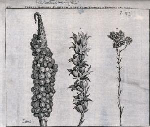 view Madroen plant (?Arbutus menziesii), unknown plant and wild spanish wheat: fruiting heads. Line engraving by M. Pool after C. de Bruins, 1705.