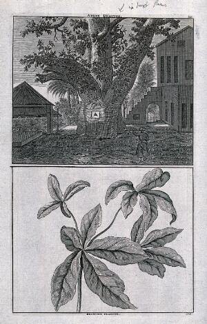 "view Trunk and branch of a sacred, East Indian ""dragtoe"" tree, in separate plates. Line engraving after C. de Bruin, 1706."