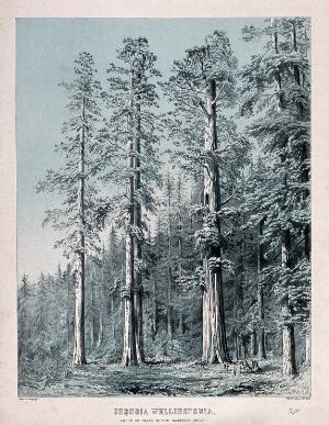 view Californian redwood trees (Sequoia sempervirens (D.Don) Endl.): group of trees in the Mariposa Grove, California. Colour lithograph by W. H. McFarlane.