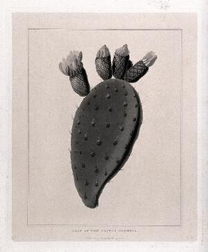 view Prickly pear cactus (Opuntia species): stem and flowers. Aquatint, c.1823.