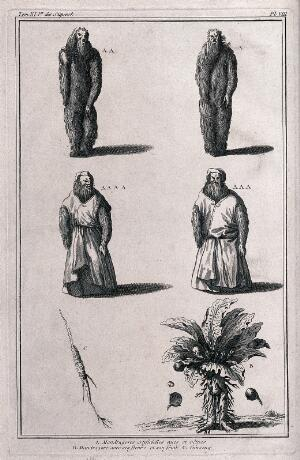view Mandrake roots in the form of human figures, both naked and clothed; the mandrake plant itself (Mandragora officinarum L.); and a root of ginseng (Panax quinquefolius L.). Engraving.