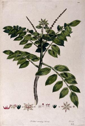 view A plant (Brucea species): flowering stem with floral segments. Coloured etching by J. F. Miller, c.1796, after himself.