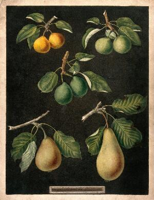 view A collection of pears (Pyrus species). Colour and coloured engraving, c. 1817, after G. Brookshaw.