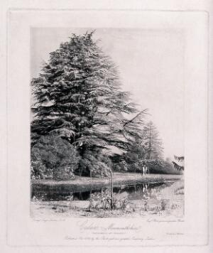 view Cedar trees (Cedrus species) in a garden in Monmouthshire. Photogravure by R. Fenton, ca. 1856.