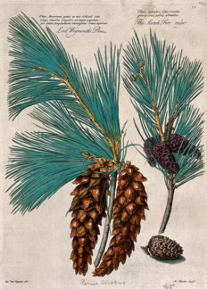 view Weymouth or white pine (Pinus strobus L.) and scots pine (Pinus sylvestris L.): cones and leaves. Coloured engraving by H. Fletcher, c. 1730, after J. van Huysum.