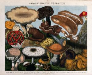 view Fungi: 16 species, including Jew's ear (Auricularia auricula), puffballs (Lycoperdon) and Agaricus and Boletus species. Coloured lithograph by A. Cornillon, ca. 1827, after Prieur.