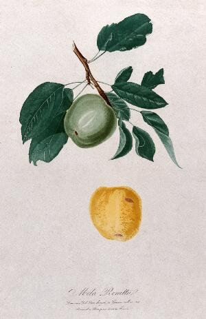view Apple (Malus species): fruiting branch with separate fruit. Colour aquatint by B. Rosaspina after D. del Pino, 1825.