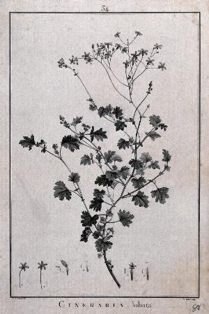 view Cineraria lobata: flowering stem and floral segments. Line engraving by F. Hubert, c. 1788, after P. J. Redouté.