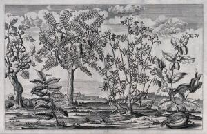 view Five Egyptian trees with fruit, including the tamarind, mulberry fig and baobab. Line engraving, c. 1676.