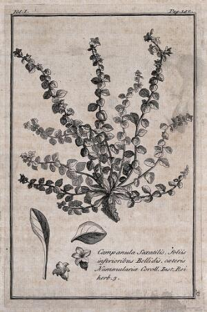 view Bellflower (Campanula saxatilis): flowering plant with separate leaves and flowers. Etching, c. 1718, after C. Aubriet.