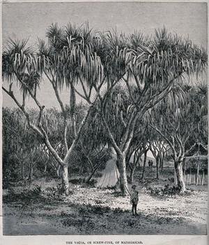 view Screwpine plants (Pandanus species) of Madagascar, sheltering a tent. Wood engraving, c. 1867.