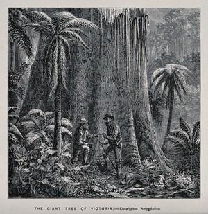 view Two men standing by the huge trunk of an Australian mountain ash tree (Eucalyptus amygdalina). Wood engraving, c. 1867.