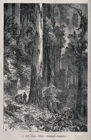 view Three men standing by the huge trunk of an Australian mountain ash tree (Eucalyptus amygdalina), in a forest. Wood engraving, c. 1867.
