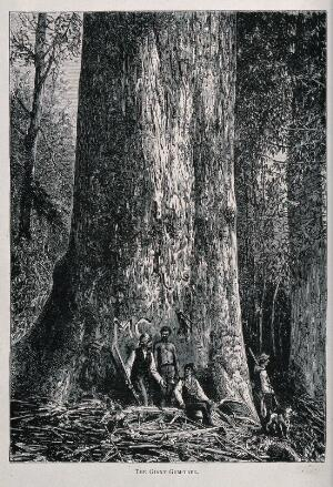 view Four men standing by the huge trunk of an Australian mountain ash tree (Eucalyptus species). Wood engraving, c. 1867.