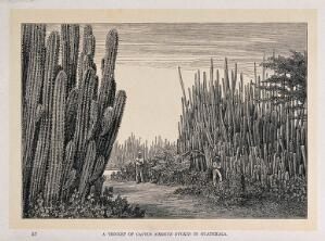 view A thicket of cactus (Cereus dyckii) in Guatemala. Wood engraving, c. 1867.