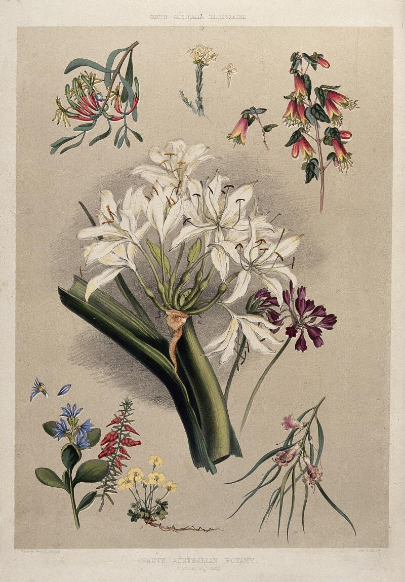 nine species of native australian flowers  coloured lithograph by g  f  angas  c  1846  after