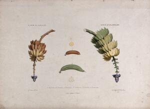 view A bunch of bananas (Musa species) and a bunch of plantains (Musa x paradisiaca). Coloured lithograph by R. Bridgens, c. 1836, after himself.