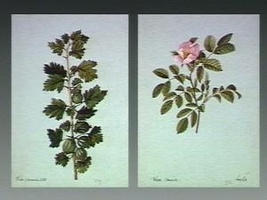 view Gooseberry (Ribes uva-crispa): fruiting stem. Watercolour.