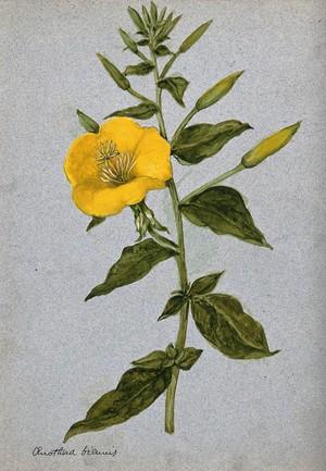 view Evening primrose (Oenothera biennis): flowering stem. Watercolour.