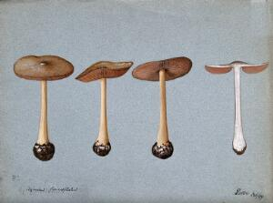 view A fungus (Agaricus gloiocephalus): four fruiting bodies. Watercolour, 1899.