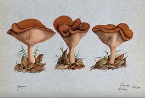 view A fungus (Agaricus lobatus?): three fruiting bodies. Watercolour by R. Baker, 1888.