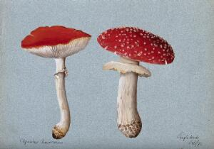 view The fly agaric fungus (Amanita muscaria): two fruiting bodies. Watercolour, 1890.