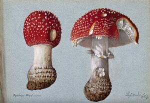 view The fly agaric fungus (Amanita muscaria): two fruiting bodies. Watercolour, 1892.