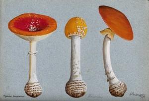 view The fly agaric fungus (Amanita muscaria): three fruiting bodies. Watercolour, 1893.