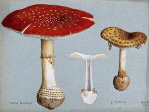 view The fly agaric fungus (Amanita muscaria): three fruiting bodies. Watercolour by R. Baker.