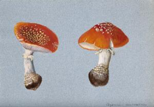 view The fly agaric fungus (Amanita muscaria): two fruiting bodies. Watercolour.