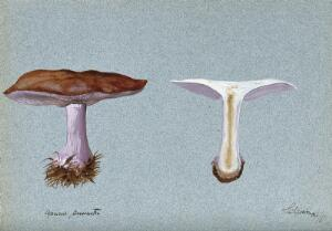 view Blewit fungus (Lepista saeva): two fruiting bodies, one sectioned. Watercolour, 1897.