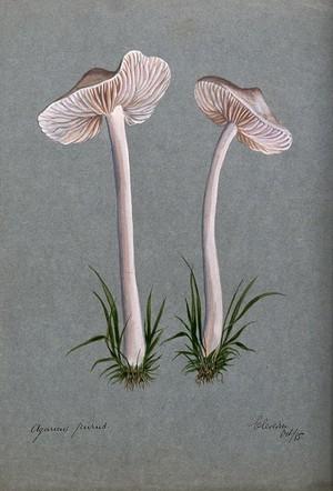 view A fungus (Mycena pura): two fruiting bodies. Watercolour, 1885.