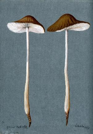 view A fungus (Agaricus radicatus?): two fruiting bodies. Watercolour, 1896.