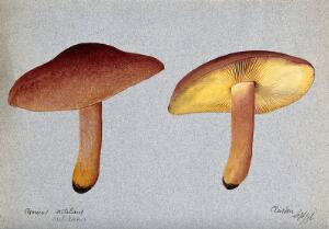 view Plums and custard fungus (Tricholomopsis rutilans): two fruiting bodies. Watercolour, 1892.