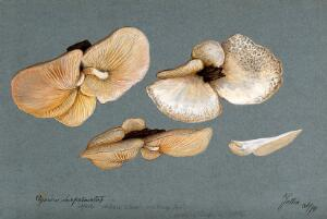 view A fungus (Agaricus subpalmatus?): groups of fruiting bodies on wood. Watercolour, 1894.