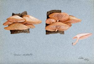 view A fungus (Agaricus subpalmatus?): groups of fruiting bodies on wood. Watercolour, 1897.
