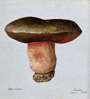 view Devil's bolete fungus (Boletus satanus). Watercolour by R. Baker, 1896.