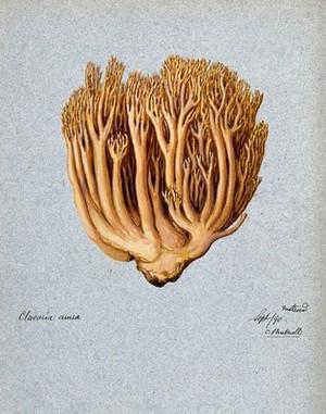 view A fungus (Ramaria aurea): fruiting body. Watercolour by C. Bucknall, 1890.