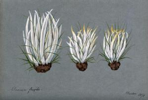 view White spindles fungus (Clavaria fragilis): three fruiting bodies growing amongst grass. Watercolour, 1901.