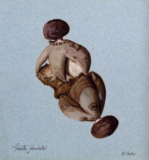 view An earth-star fungus (Geastrum fornicatum): two fruiting bodies. Watercolour by R. Baker.