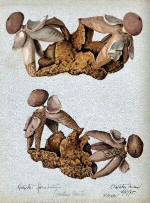 view An earth-star fungus (Geastrum fornicatum): four fruiting bodies. Watercolour by R. Baker, 1895.
